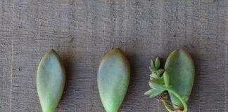 Talea piante