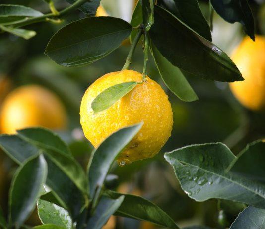potatura limone